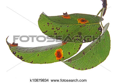Stock Photo of Pear rust (Gymnosporangium fuscum) k10879834.