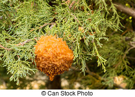 Gymnosporangium Stock Photo Images. 6 Gymnosporangium royalty free.