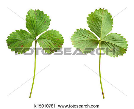 Stock Photography of Strawberry leaf with the fungal disease, leaf.