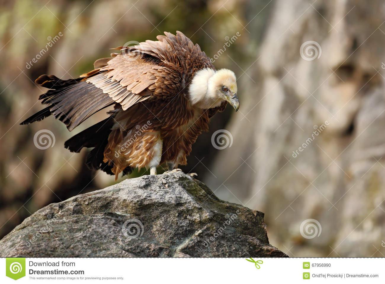 Griffon Vulture, Gyps Fulvus, Big Birds Of Prey Sitting On The.