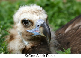 Stock Photo of Large image Griffin Vulture (Gyps fulvus), zoo.
