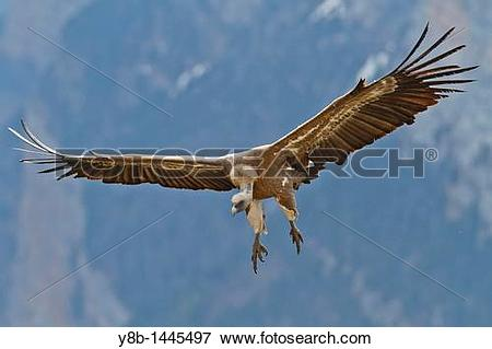 Picture of Griffon Vulture (Gyps fulvus) in fly, Pyrenees,spain.