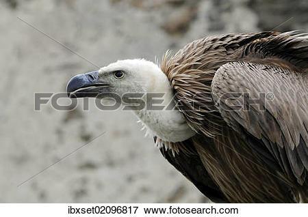 """Picture of """"Griffon Vulture (Gyps fulvus), Renaissanceschloss."""