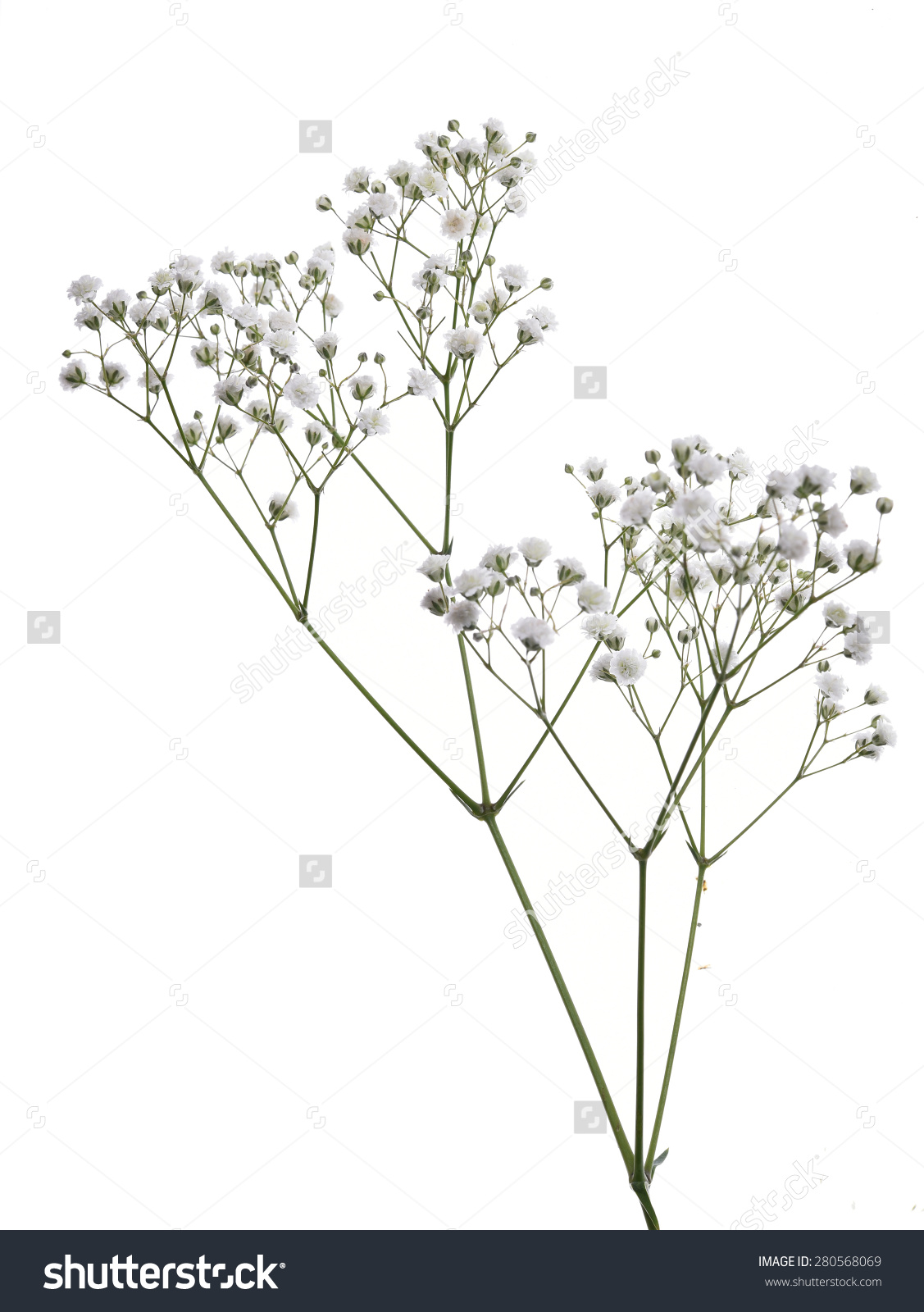 Gypsophila Babysbreath Flowers Light Airy Masses Stock Photo.