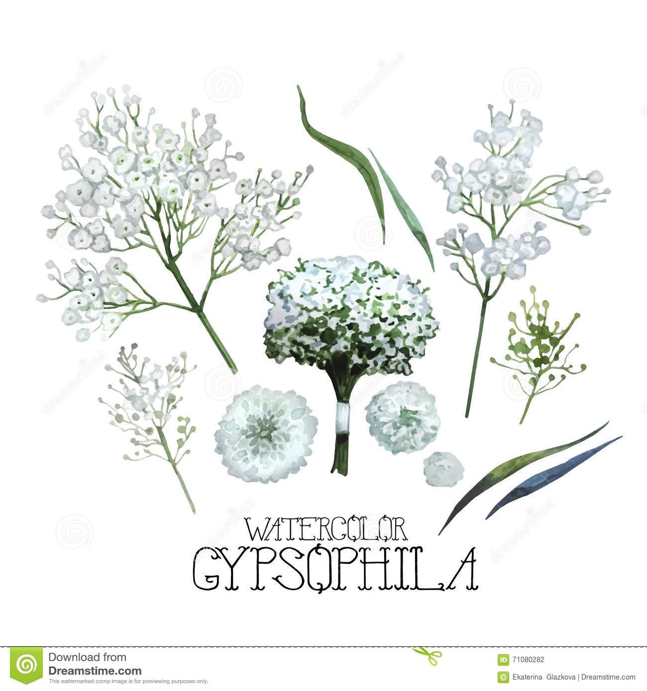 Gypsophila Stock Illustrations.