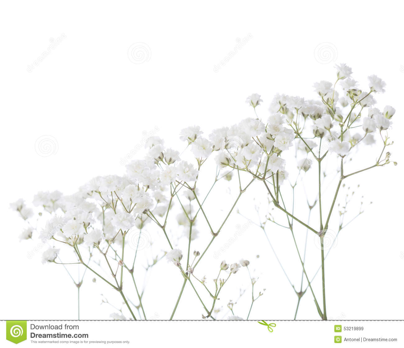 Gypsophila Stock Photos, Images, & Pictures.
