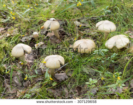 Gypsy Mushroom Stock Photos, Images, & Pictures.