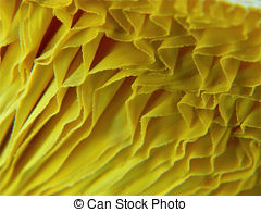 Pictures of Gypsy Mushroom Gills.