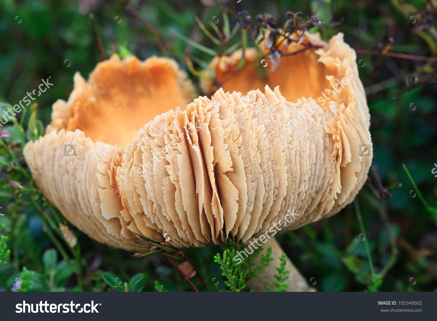Old Gypsy Mushroom (Cortinarius Caperatus) Stock Photo 105349565.
