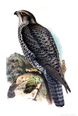 Animal Illustrations Falcon Picture,Victorian & Vintage Falcon Images.