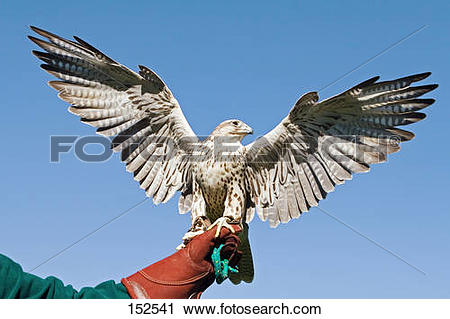 Stock Photography of Gyrfalcon.