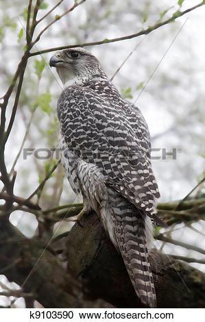 Stock Photography of Very rare bird: White gyrfalcon k9103590.