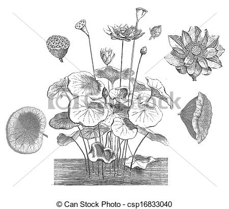 EPS Vector of Sacred lotus (Nelumbo nucifera).