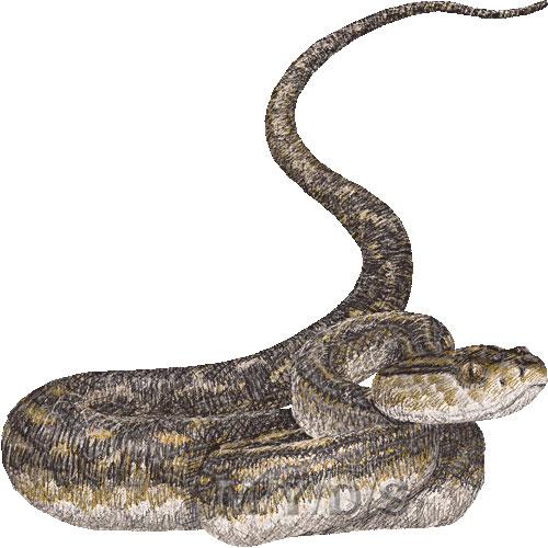 Snake) Okinawa Habu, Yellow Spotted Lance.