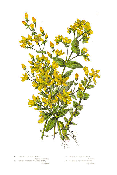 St. John's Wort Clip Art, Vector Images & Illustrations.