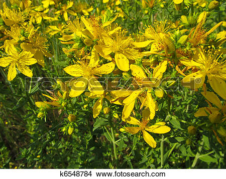 Stock Photo of St. John's wort flowers k6548784.