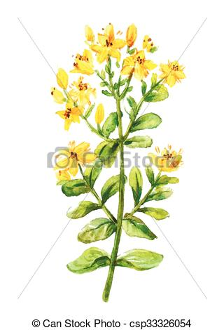 Clipart Vector of Tutsan watercolor drawing. St. John wort branch.