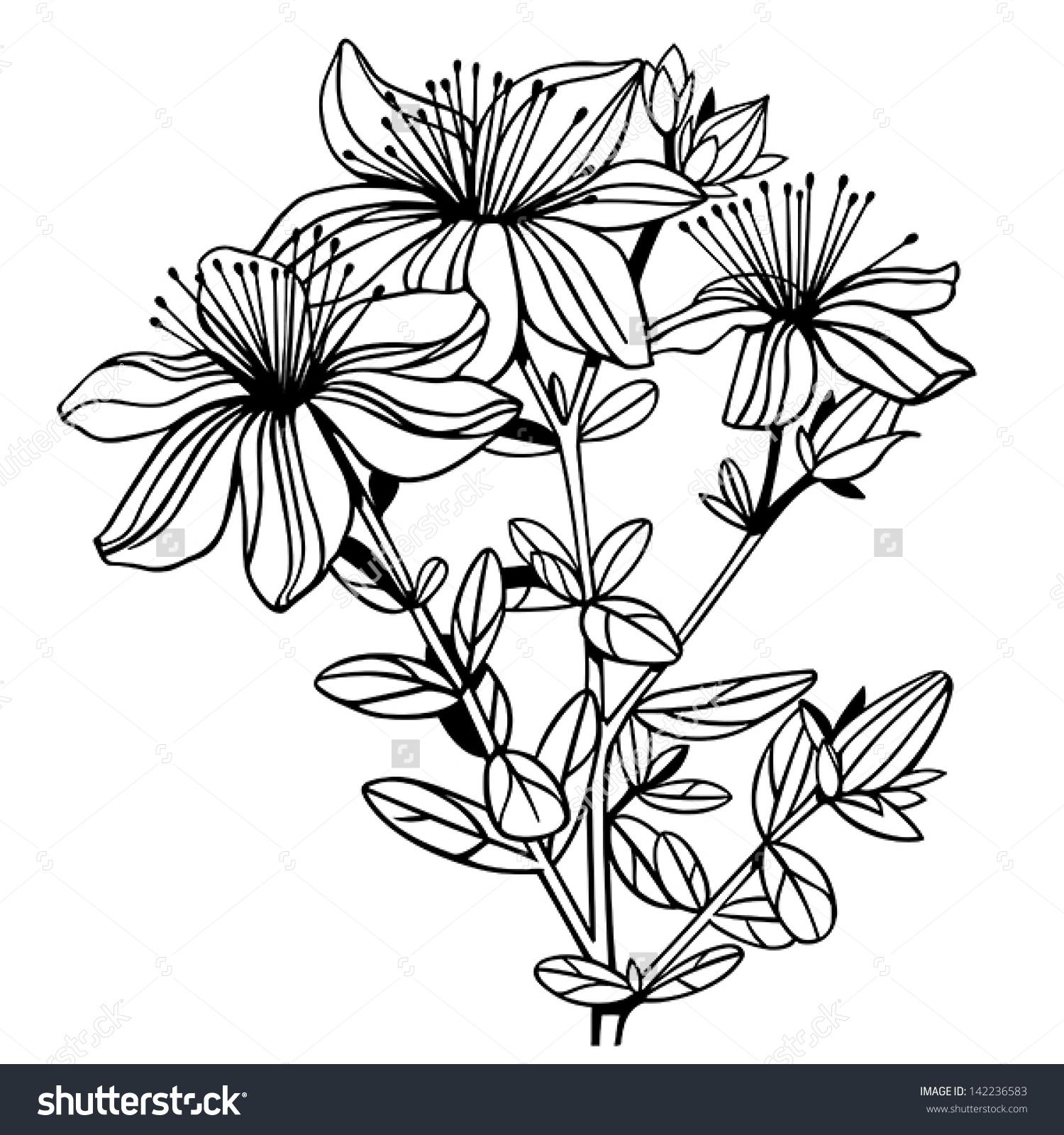 Hypericum St Johns Wort Flowers Isolated Stock Vector 142236583.