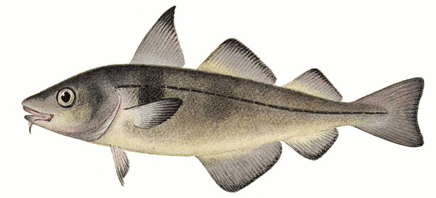 Haddock clipart.