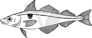 aeglefinus (haddock).