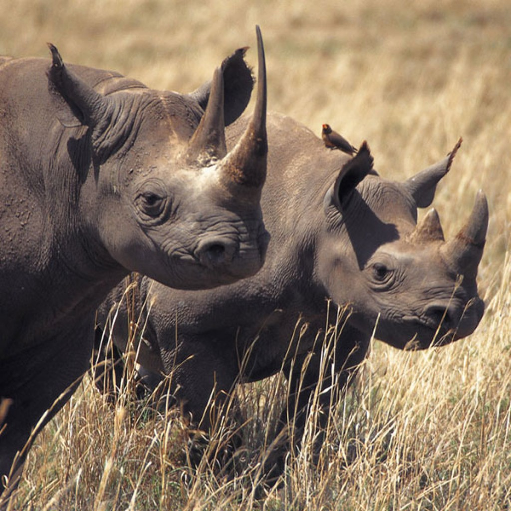 Herd of Hippopotamus, Tanzania Google maps image.