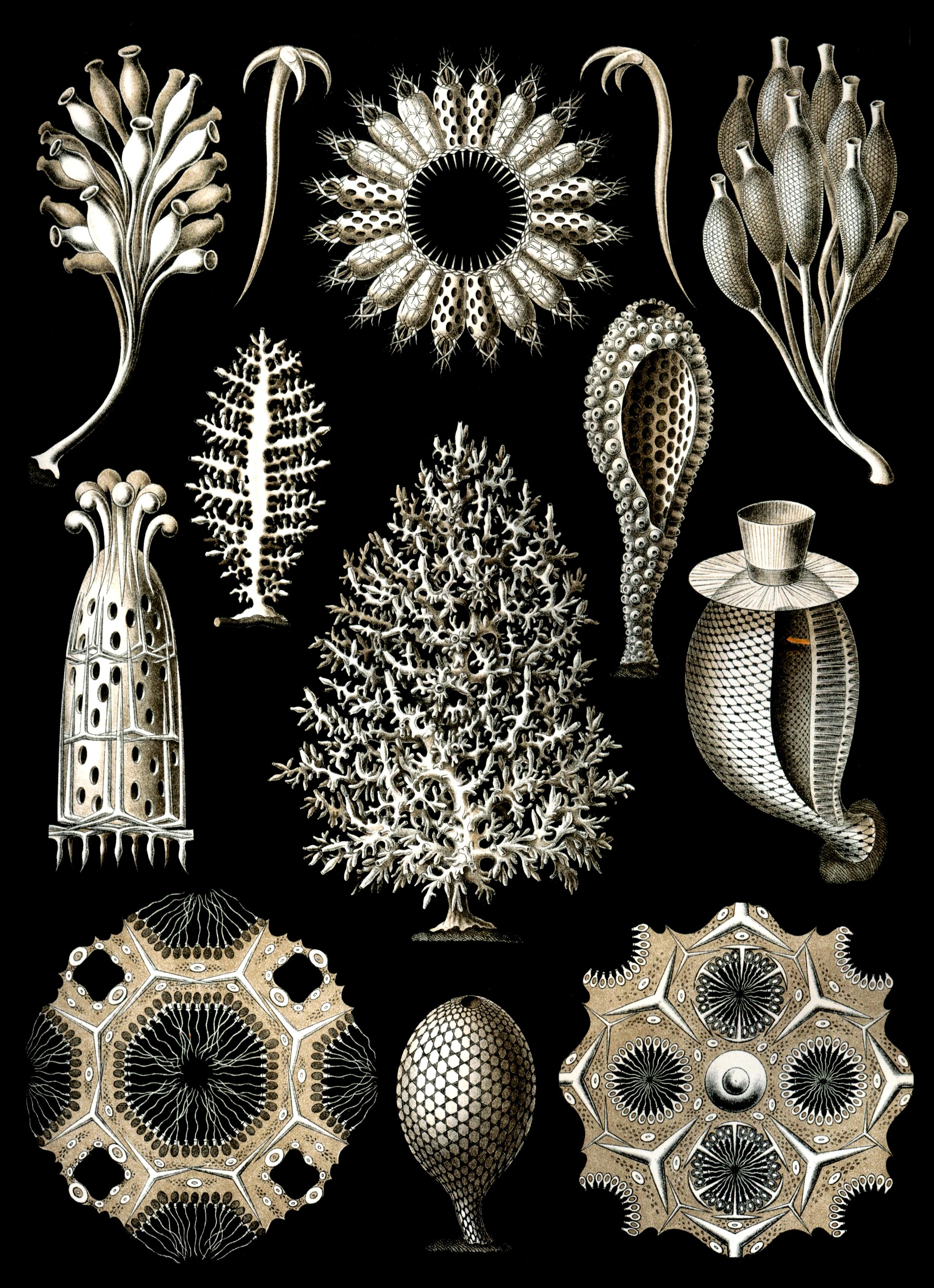 File:Haeckel Calcispongiae.jpg.