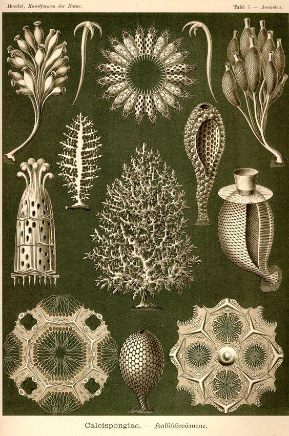 Calcispongiae by Ernst Haeckel; Kunstformen der Natur, 1900.