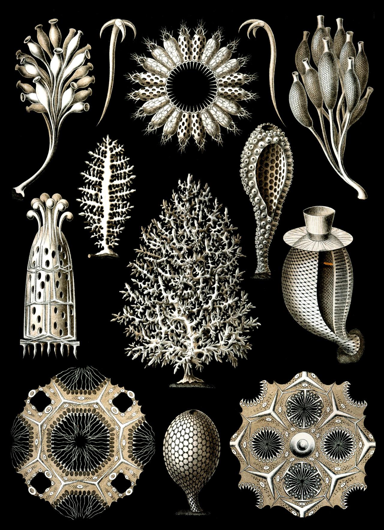Calcareous Sponges.