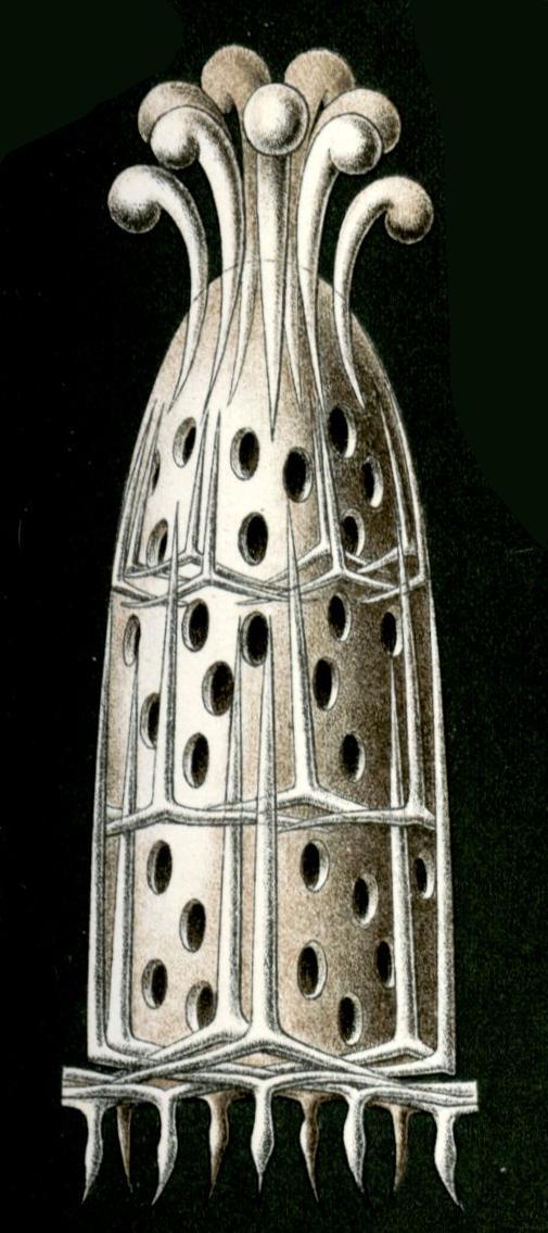File:Haeckel Calcispongiae Grantia compressa.jpg.