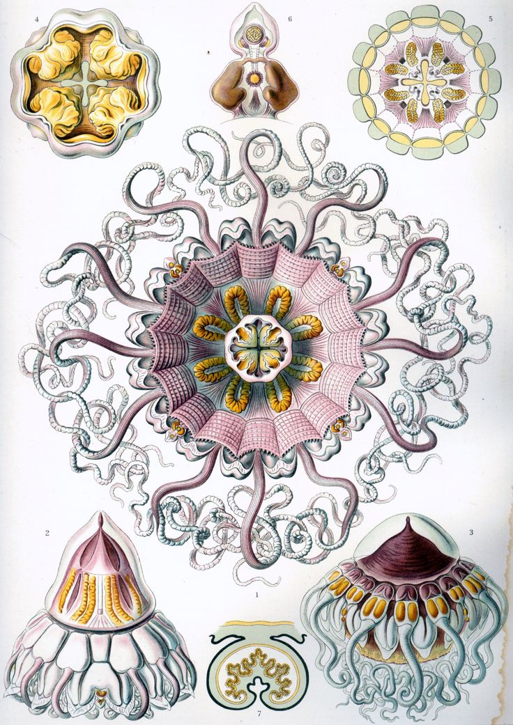 17+ best images about Prof. Ernst Haeckel 1834.