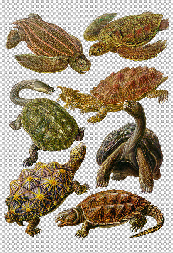 Turtles Clip Art Seven 7 Hand Drawn Tortoise by HaeckelsArk.
