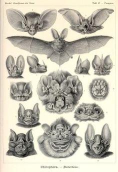 The Illustrations of Ernst Haeckel, the Romantic Biologist.