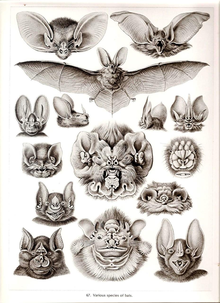 Bats by Ernst Haeckel : (1834.