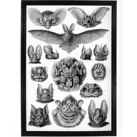 Chiroptera Forms by Ernst Haeckel Poster.