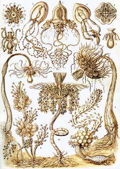 Haeckel Tubulariae.
