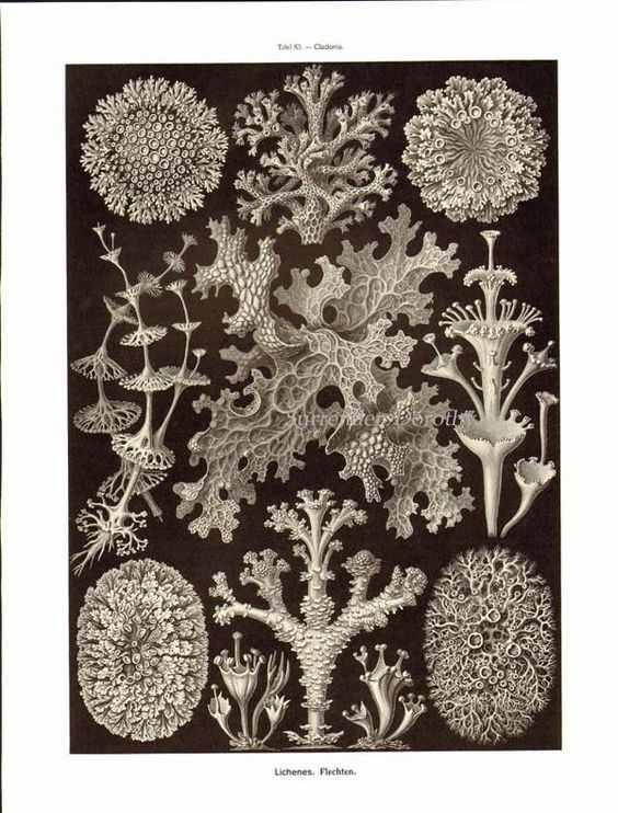 Diatom & Lichen Formations Haeckel Microbiology Print Natural.