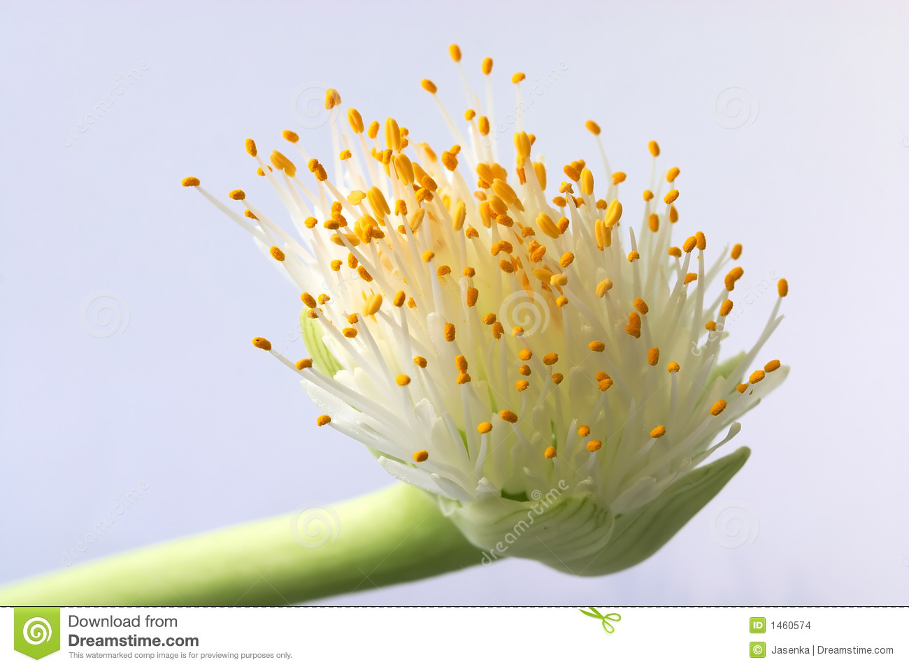 Haemanthus Albiflos Stock Images.