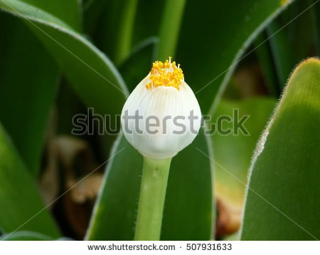 Haemanthus Stock Photos, Royalty.