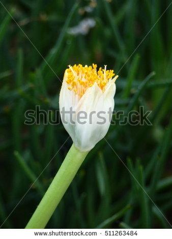 Amaryllidaceae Banco de imágenes. Fotos y vectores libres de.