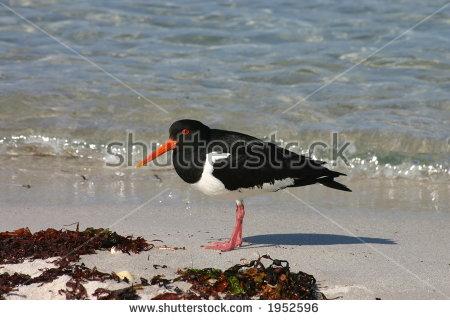 Oystercatcher Bird Haematopus Ostralegus Making Warning Stock.