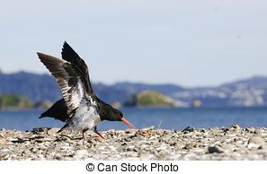 Stock Photographs of Oystercatcher, Haematopus ostralegus, with.