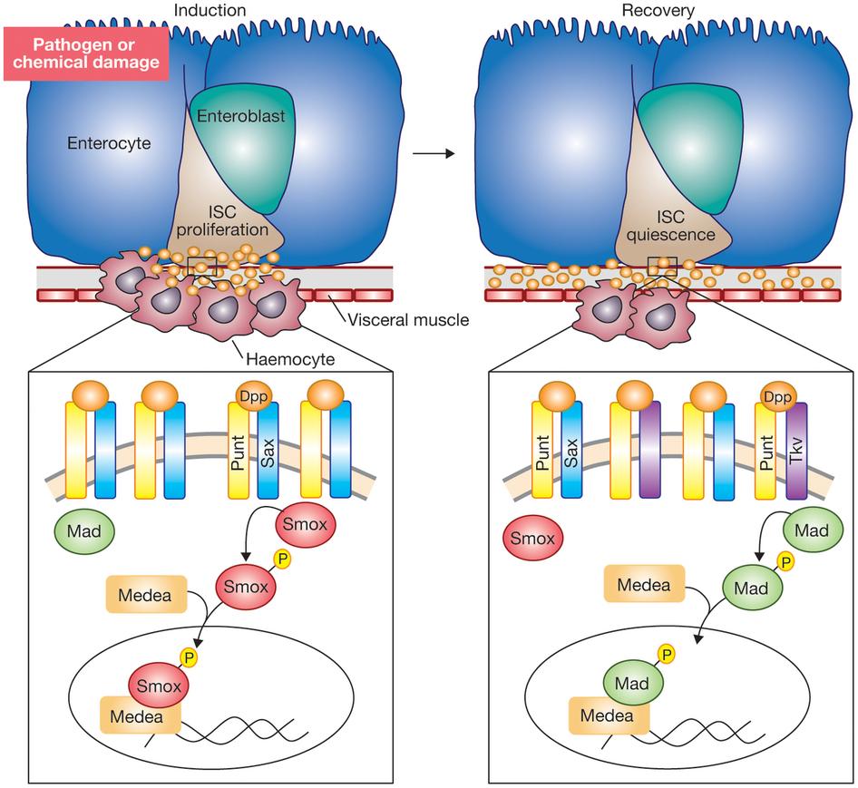 Gut healing: haemocytes aid via Sax and Tkv jazzes it down.