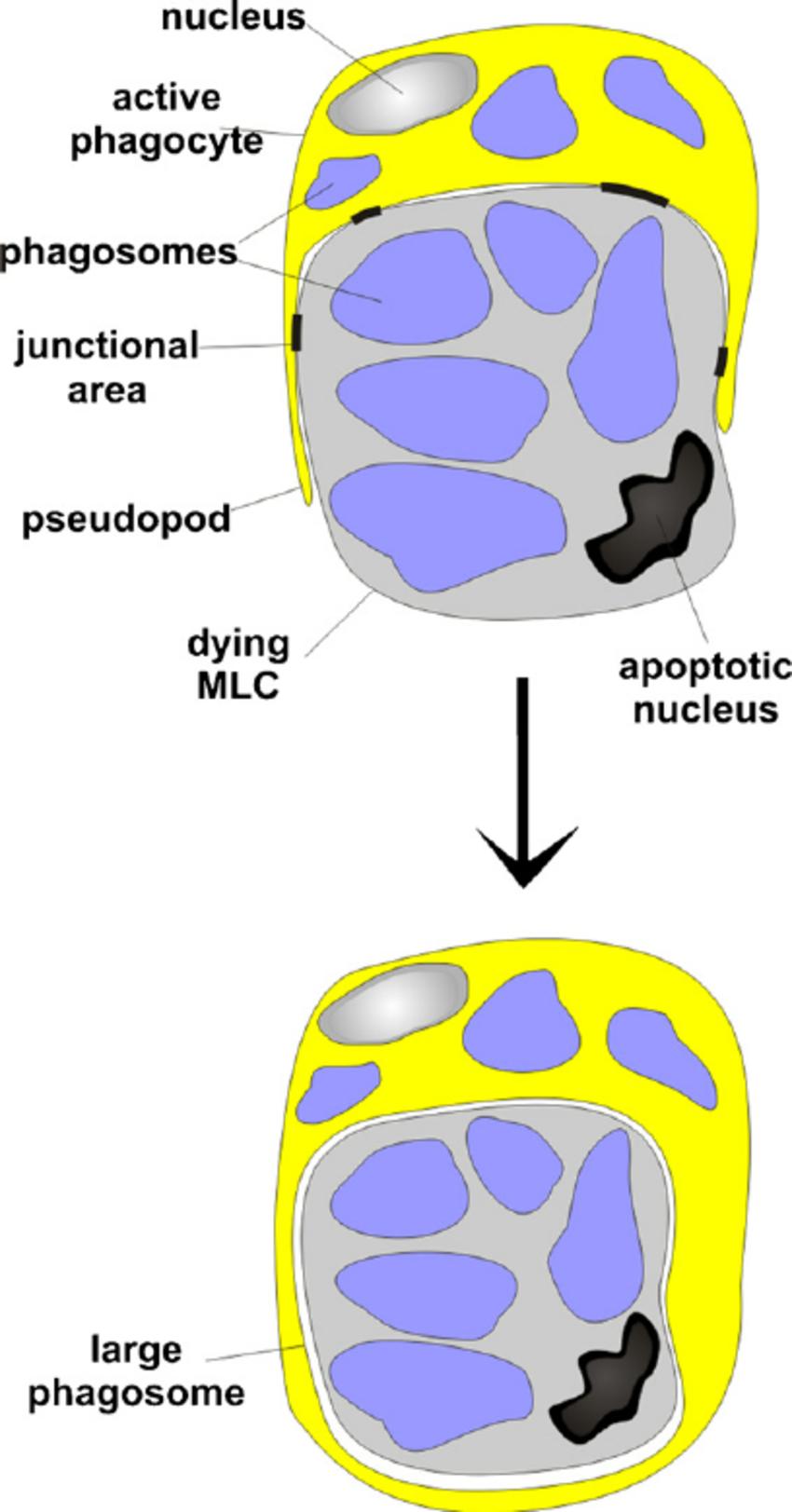 Explicatory scheme of phagocyte efferocytosis in B. schlosseri.