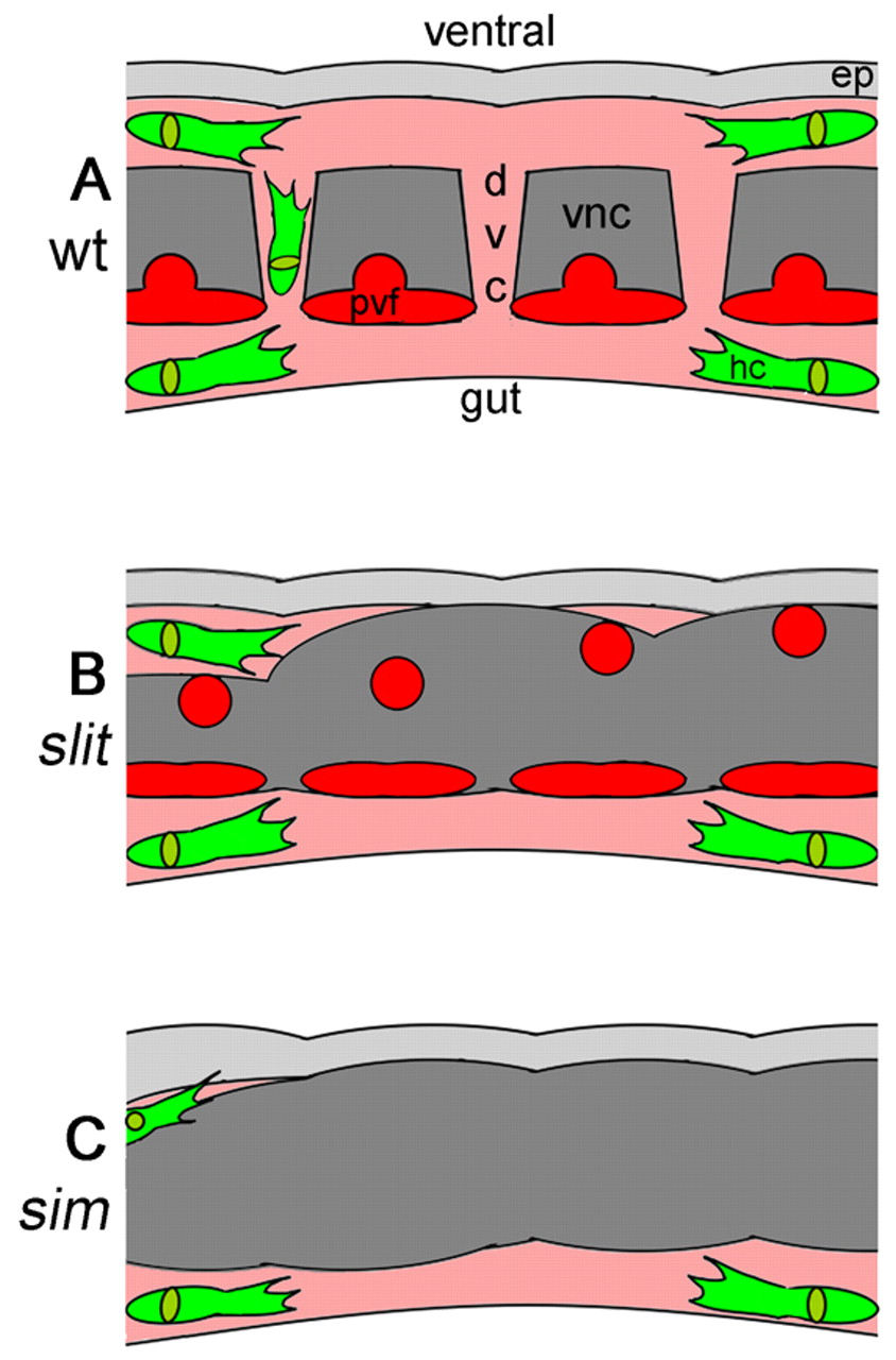 Interdependence of macrophage migration and ventral nerve cord.