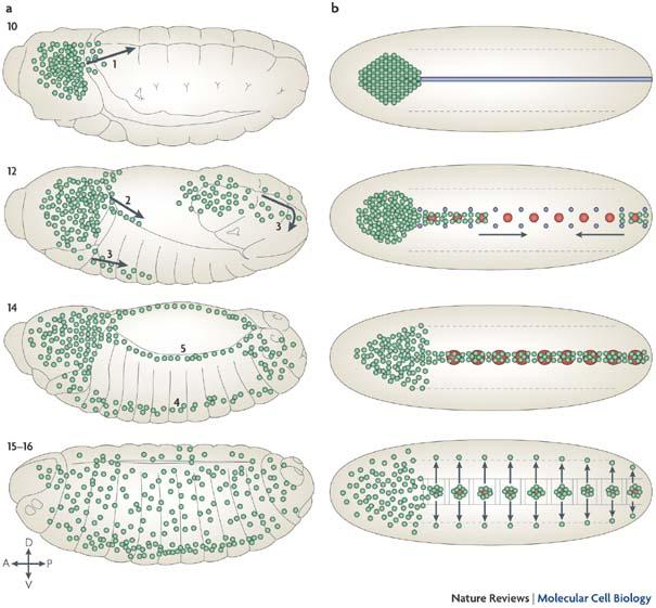 Figure 3 : Drosophila melanogaster: embryonic haemocytes: masters.
