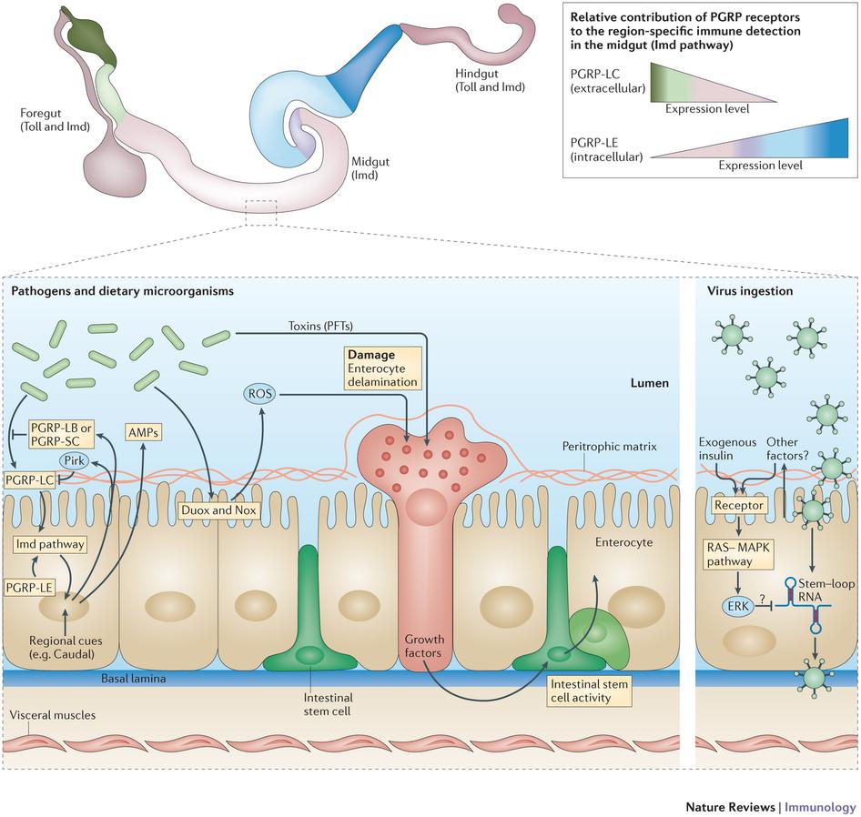Drosophila melanogaster intestinal immune response to infection.