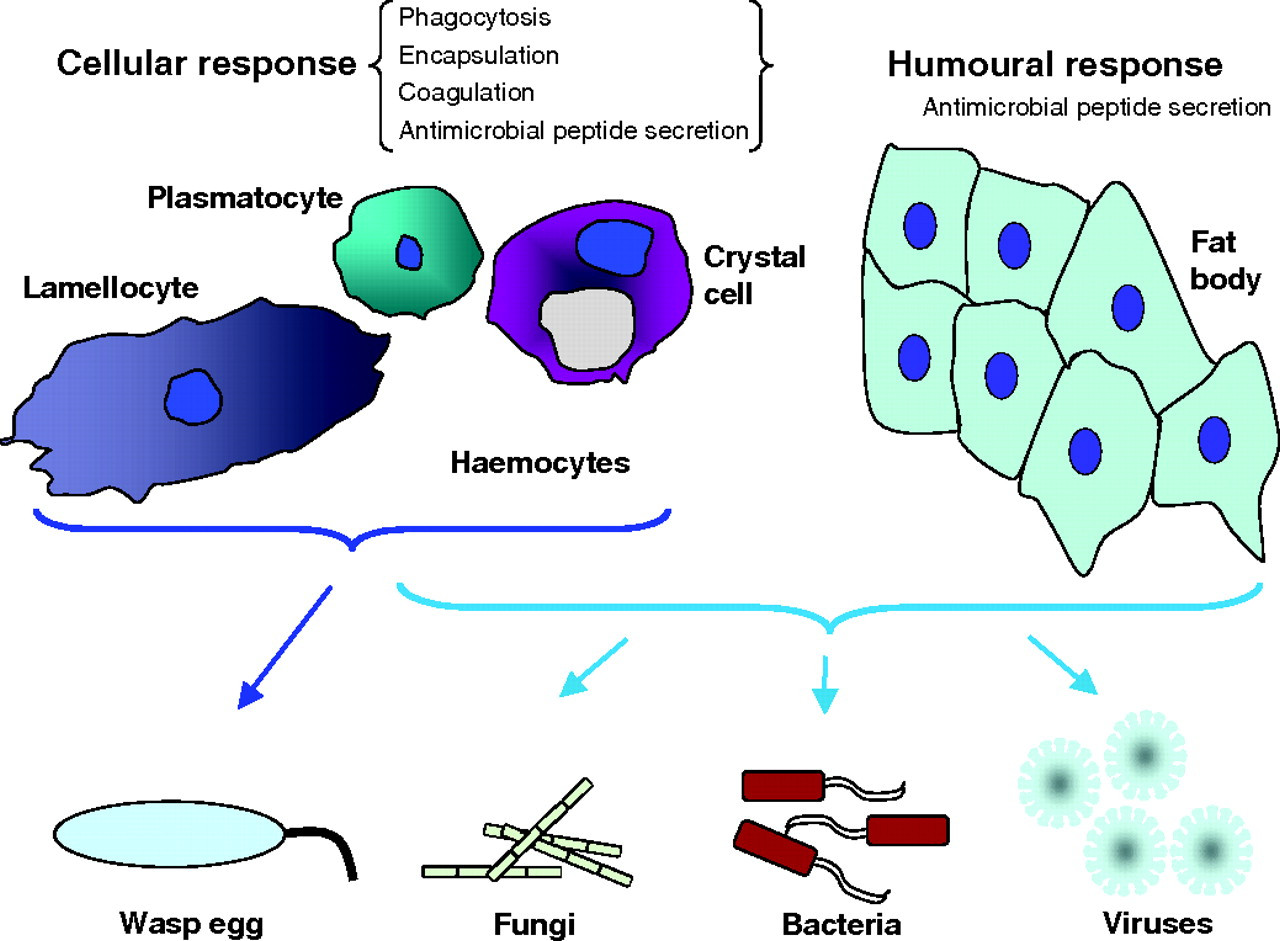 Drosophila cellular immunity: a story of migration and adhesion.