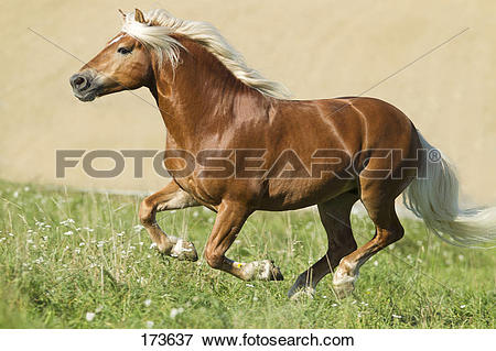 Picture of Haflinger Horse. The stallion Amigo galloping on a.