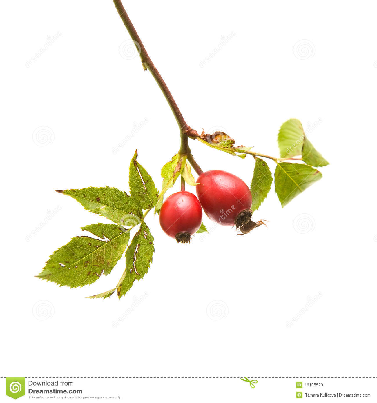 Rosehips Stock Photo.
