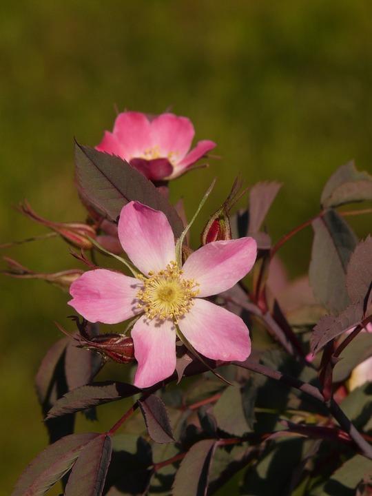 Free photo: Dog Rose, Hagros Or Wild Rose, Pink.